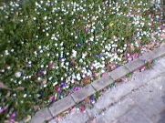Confetti between daisy flowers. Politics students were celebrating their graduation.